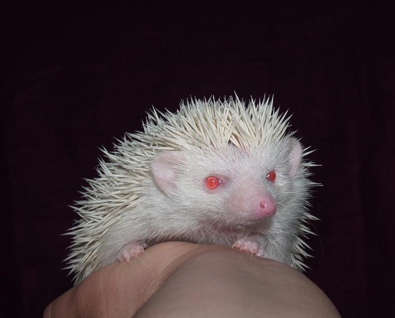 Pricklepigs Herd - Pricklepigs Hedgehogs